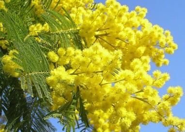 Venditori abusivi: sequestrati 360 mazzi di mimose