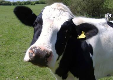 """Parmalat rifiuta il latte genovese? Gli allevatori: """"Lo compra in Cina"""""""