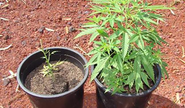 33enne denunciato per coltivazione illegale di marijuana