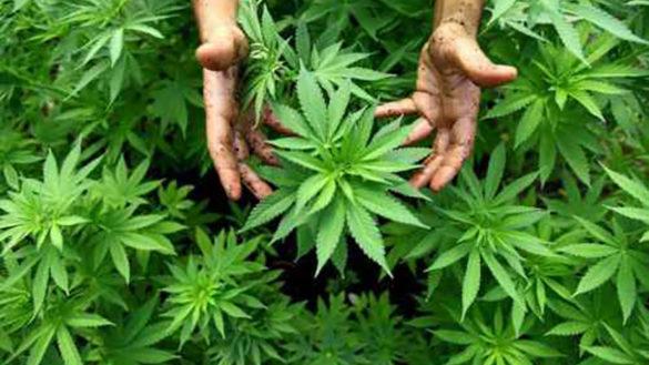 Colorno, maxi sequestro di marijuana. Coppia nei guai