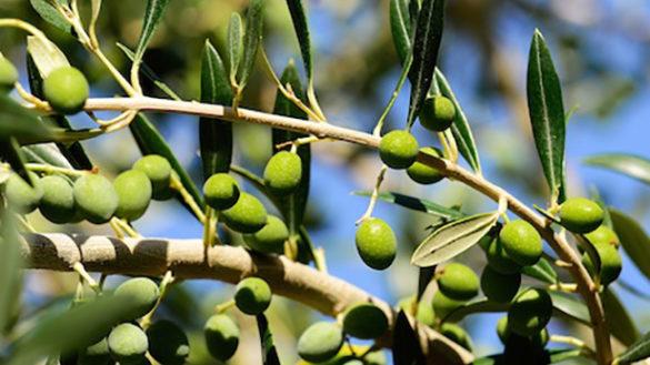 """Ricerca, progetto """"Sos"""": scarti olio oliva usati per farmaci"""