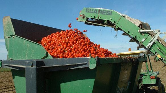Raccolta pomodoro. Una campagna all'insegna della qualità