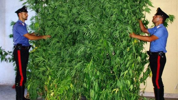 Coltivavano in città piante di marijuana alte due metri