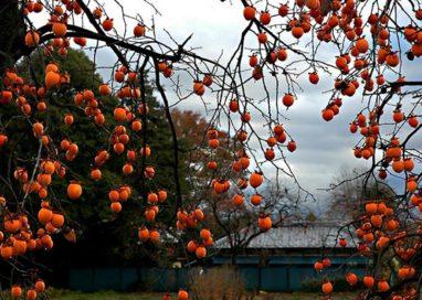 Raccolta di cachi: la Festa del Raccolto Urbano salverà 142 alberi