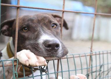 Berceto, ritrovati 46 cani in un Suv. Denunciata una coppia