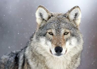 Scatta l'allarme e si trova un lupo in giardino