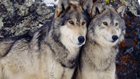 """""""Via libera dopo 46 anni di protezione all'abbattimento dei lupi"""""""