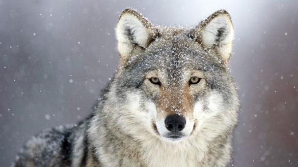 Appennino: trovato morto per avvelenamento un lupo