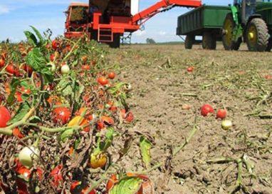 Pomodoro made in China, accordo semine oltre scadenza