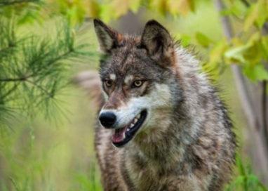 Via Emilia, lupo travolto e ucciso da un'auto