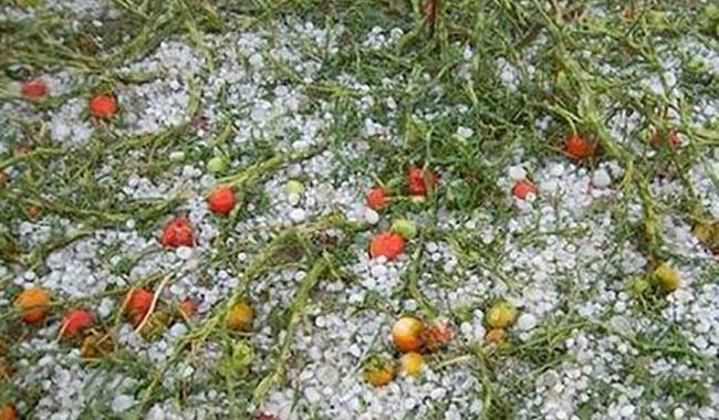 Maltempo: perse nel parmense 3 milioni di piantine di pomodoro