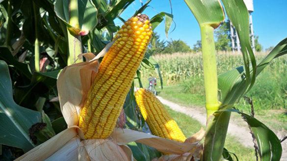 Siccità: danni alle colture di cereali del Parmense