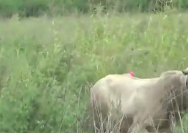 Roccabianca, agricoltore incornato da un toro. Grave al Maggiore