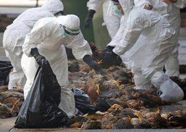 Inceneritore di Parma? Brucerà 850 mila galline con l'aviaria