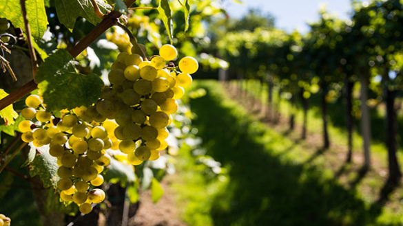Cosa significa vino biologico?Come viene prodotto e come riconoscerne le qualità
