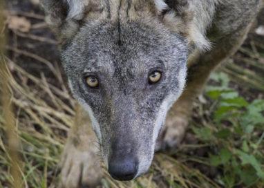 Io non ho paura del lupo: un crowdfunding per salvarlo