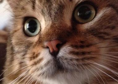 Dal Main-Coon al Norvegese: a Collecchio l'esposizione felina
