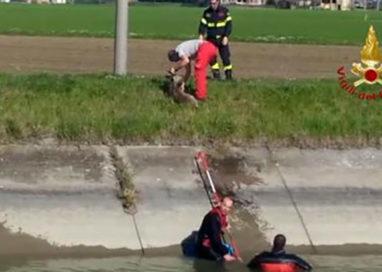 Capriolo cade nel canale, salvato dai vigili del fuoco