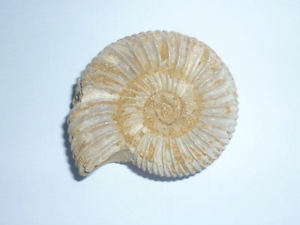 Scoperta unica in Val di Taro: rinvenuto fossile di Ammonite
