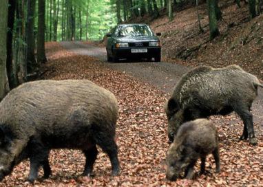 Incidenti stradali causati da animali selvatici, il Piano della Regione