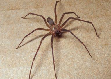 Collecchio: ragazza morsa da un ragno, finisce in ospedale