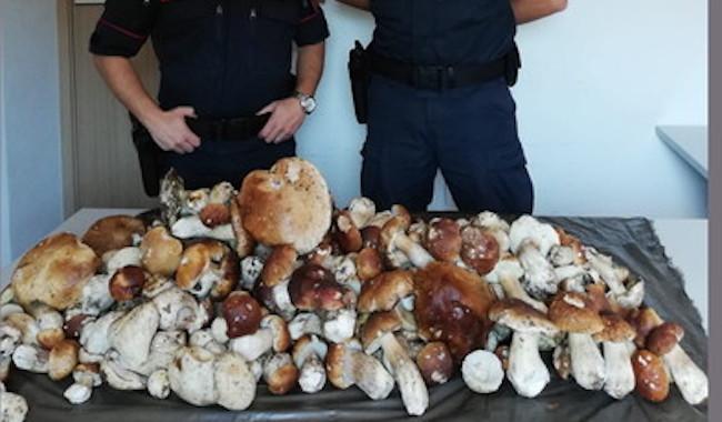 Tutti a funghi, ma c'è chi non rispetta le regole. 50 kg di porcini sequestrati